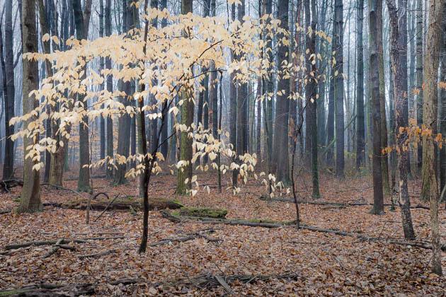 Tenacious Leaves, Late Autumn, 2012