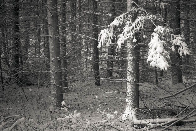 Snow Covered Spruce, 2014