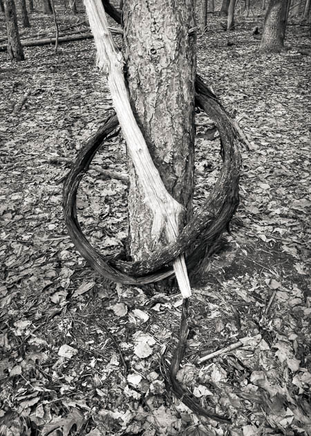 Vine Encircling Tree, 2015
