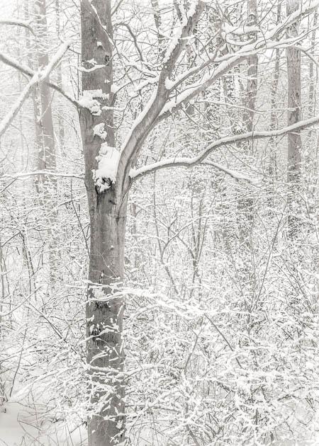 Snowy Beech, 2016