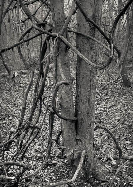 Tangled Vines, 2016
